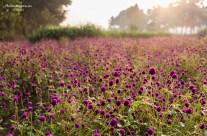 Golden lavender field