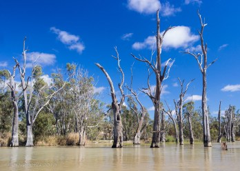 Drowned river red gums on the River Murray