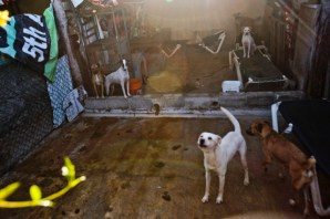 """The shelter is split into large kennels where most of the dogs reside and one large """"play"""" area. Larger dogs, dogs with behavioral issues, and dogs needing to be quarantined are shuffled into the smaller sections. The shelter needs funding for more room, as they are already over capacity."""