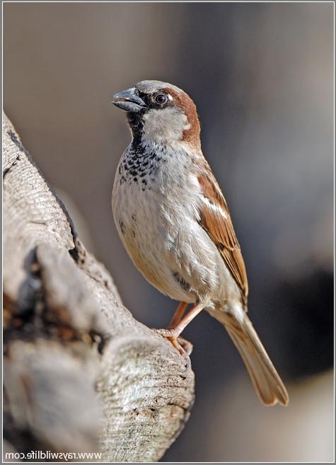 English House Sparrow Photo