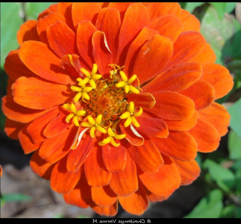 Chamanthi Flowers Photos