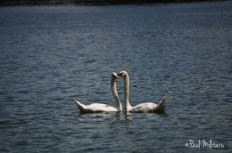 erotic dance of swans 2