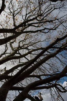 south_bank_tree_1500_12