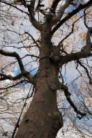 south_bank_tree_1500_2