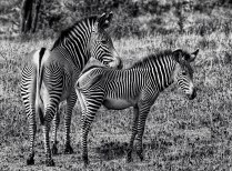 DM Zebra Mother and Colt John Lowin