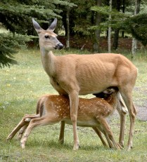 HM 69 DN Mother and 2 Fawns Sandra Weber