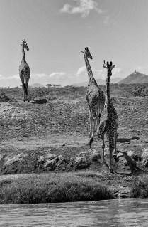 DM Giraffe River Crossing John Lowin