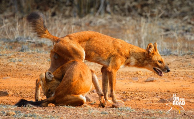 Alpha male and female wild dogs from Tadoba Andhari Tiger Reserve, Maharashtra, India