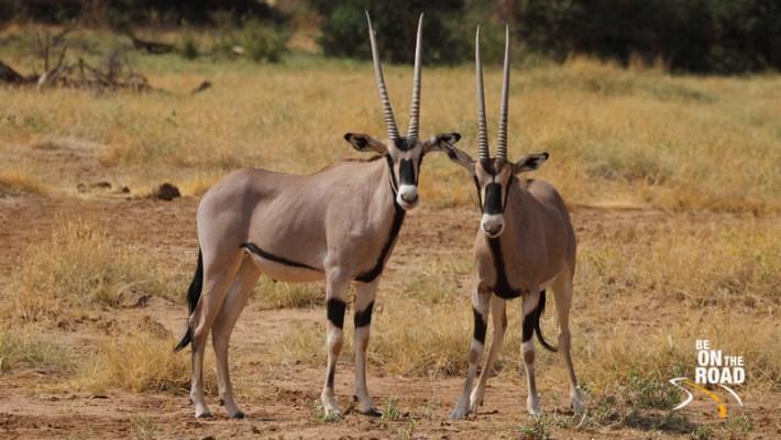 Image result for Antelopes in kenya