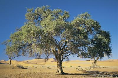 Image result for mustard tree