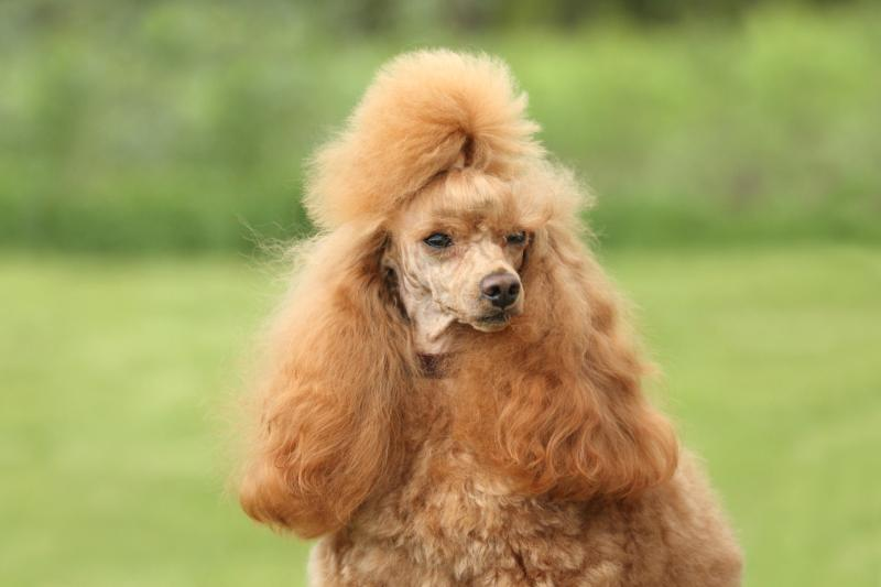 Karelian Bear Dog Poodle Mix