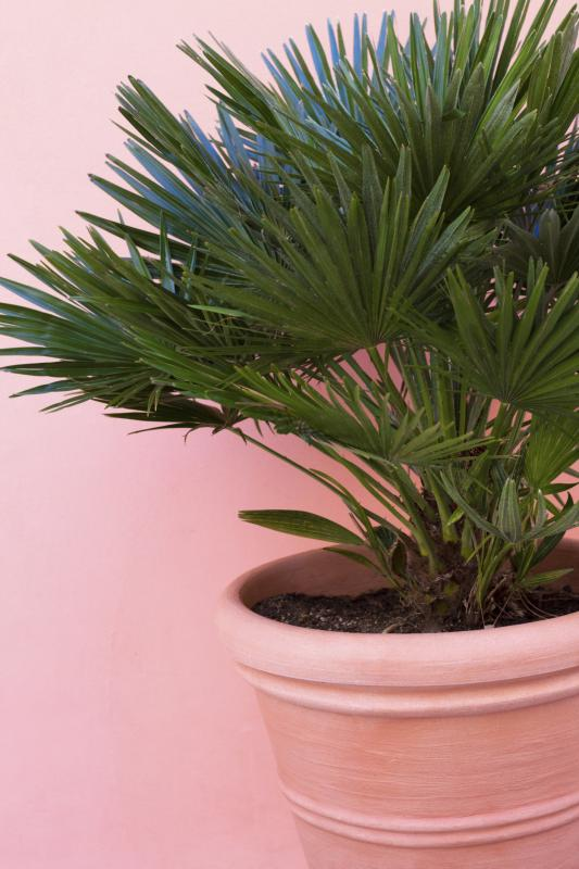 Which Palm Tree Is Good To Grow On A Patio Home Guides