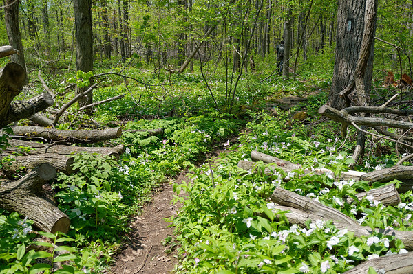 Trilliums were out in full bloom.