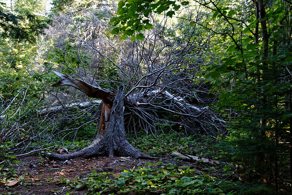 Crazy split tree in Sleeping Giant Provincial Park