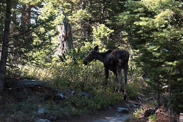 Moose in the Grand Tetons