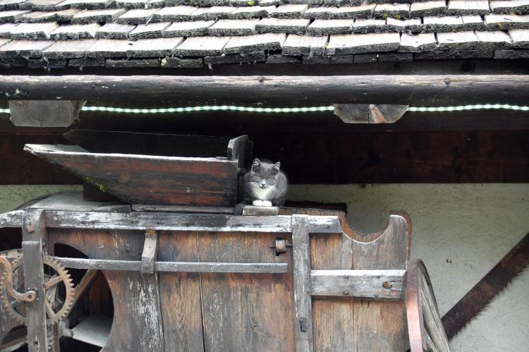 Chaton gris sur une vielle machine agricole en bois
