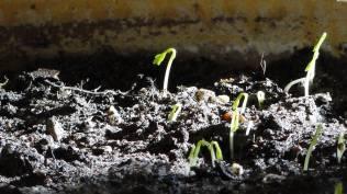 la semence germe et grandit, il ne sait comment Mc 4,27