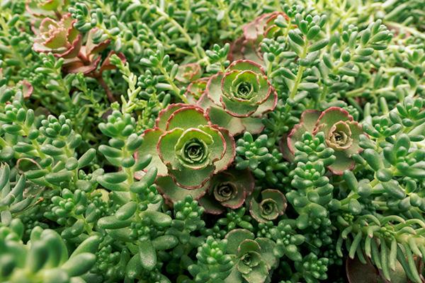 Les succulentes sont des plantes à feuilles grasses et épaisses