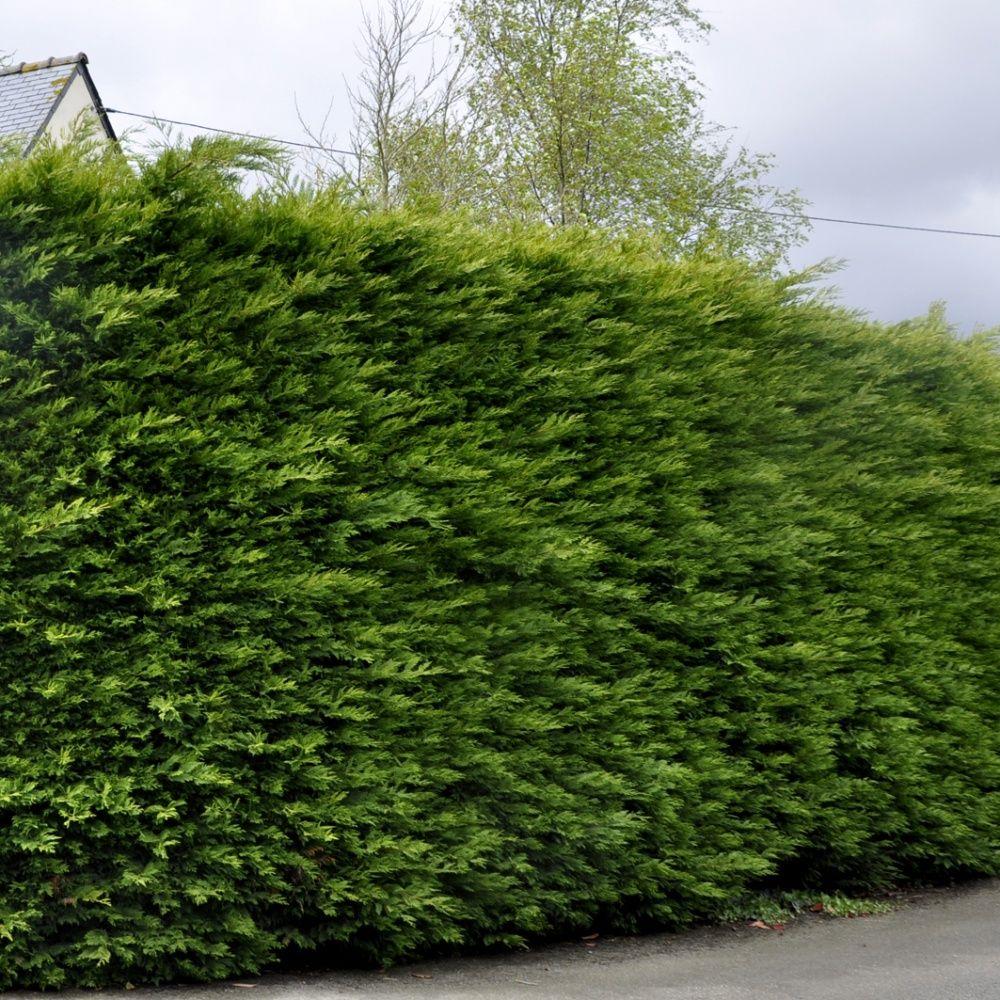 Cypres De Leyland Pot De 5 Litres Hauteur 100 120cm Gamm Vert