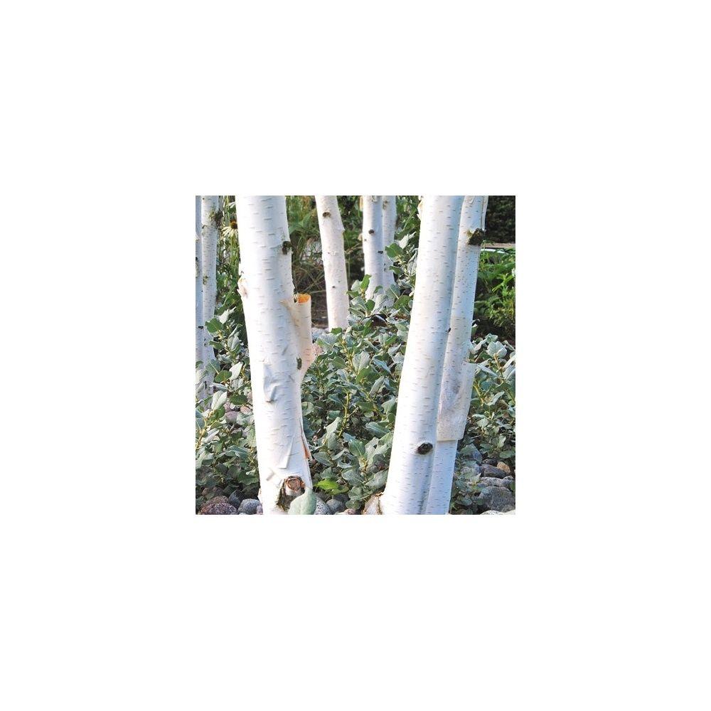 Bouleau De L Himalaya Ramifie Pot De 15 Litres En Baliveau Ramifie Gamm Vert