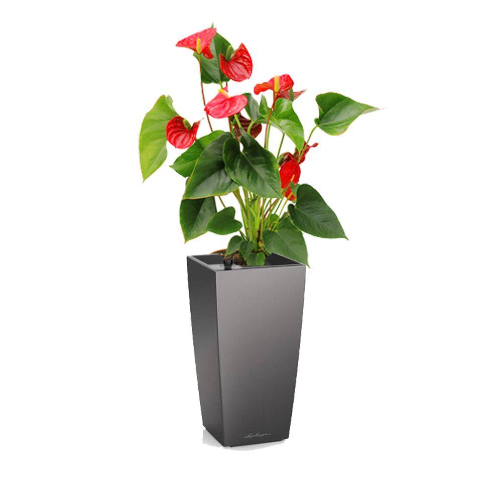 anthurium rouge en pot anthracite lechuza h 50cm