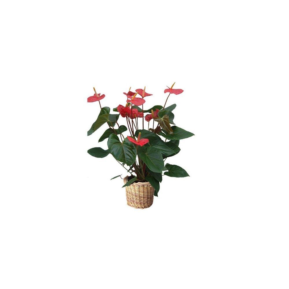anthurium rouge cache pot