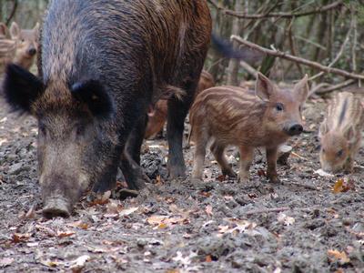 Wild boar & piglets