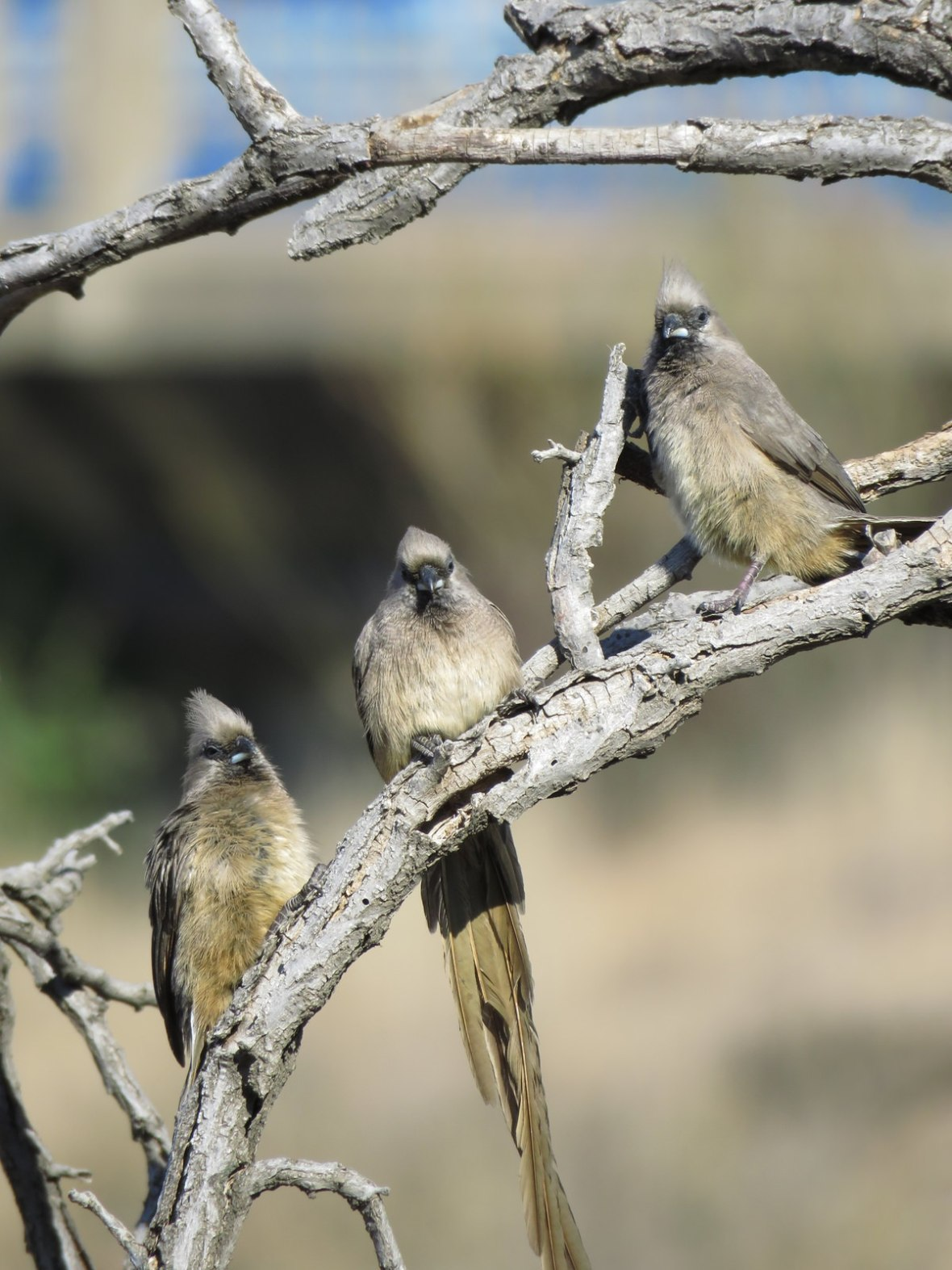 Three Mousebirds on a branch