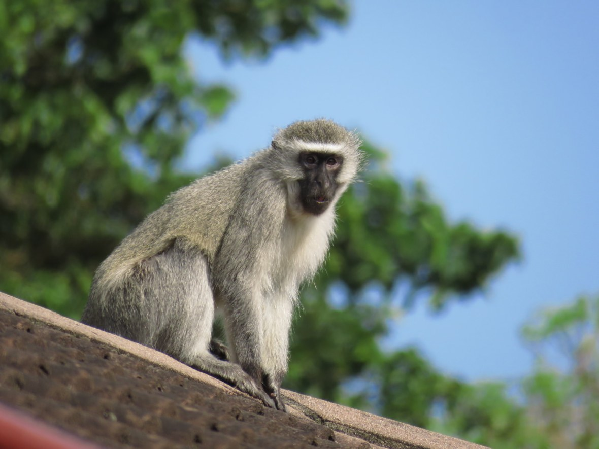 Monkey sitting on the roof
