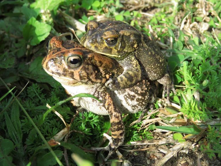 Guttaral toads mating