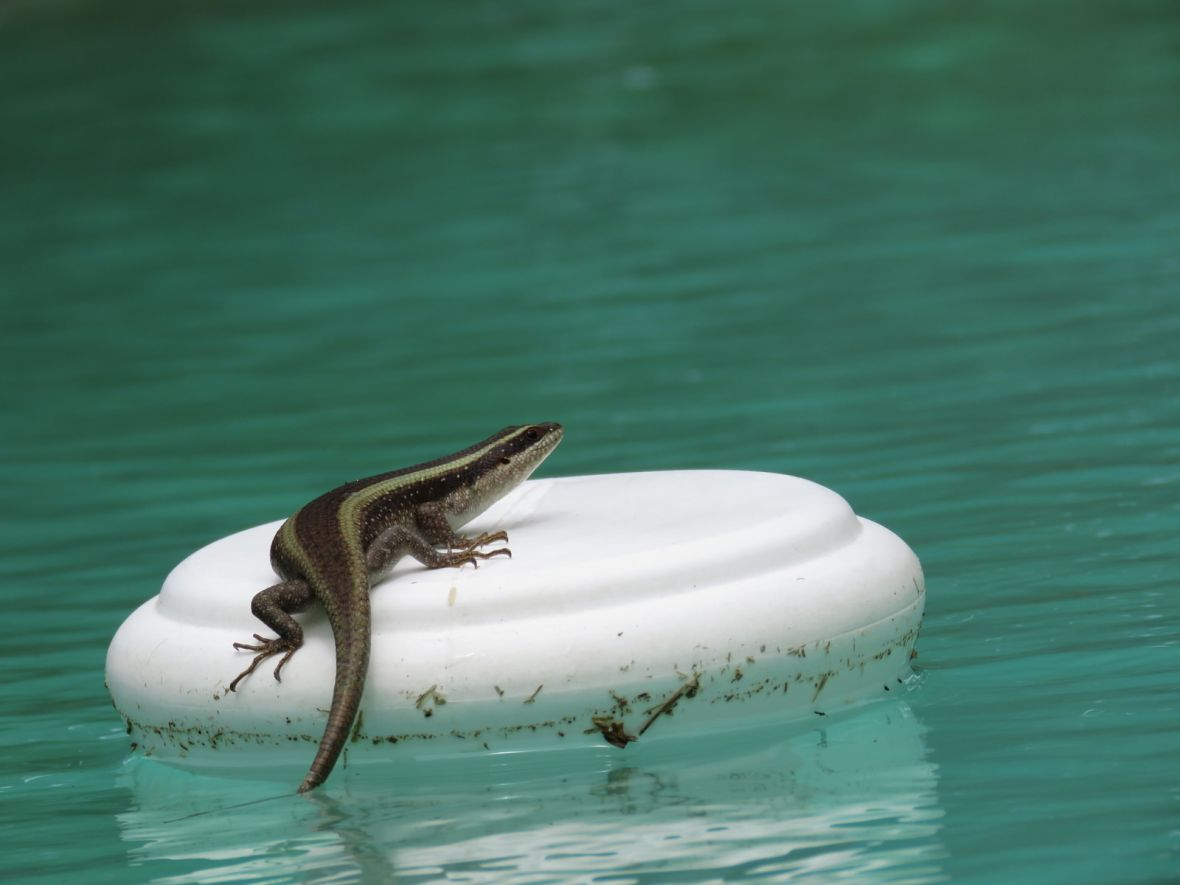 skink on a pool float