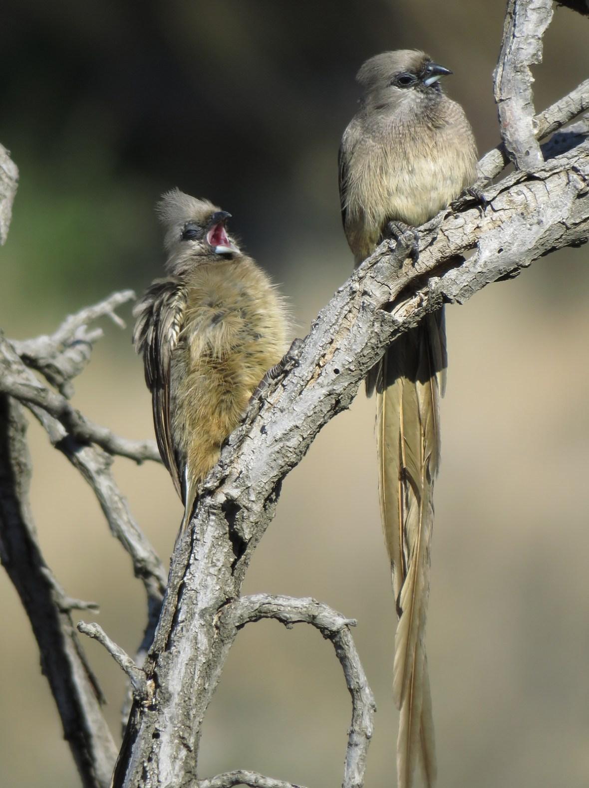 Mouse birds