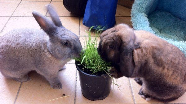 Two rabbits eating from a pot of grass