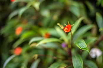 Tiny red bell flowers