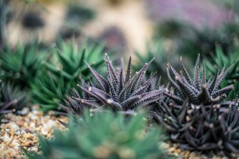 Spiky purple cactii