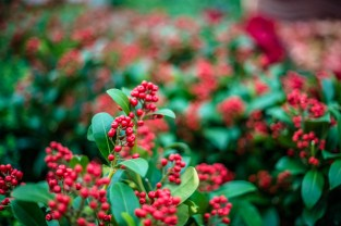 Red holly, or berries