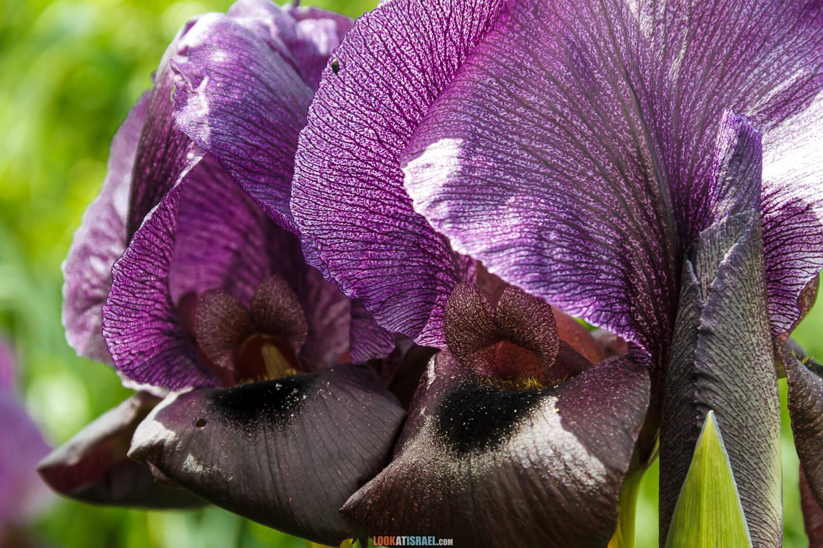 Ирисы Гильбоа | Irises Gilboa | אירוס גילבוע