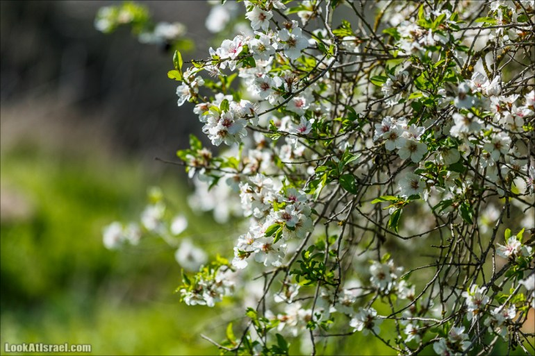 Цветение в Израиле. Самое яркое время года - зима   LookAtIsrael.com - Фото путешествия по Израилю