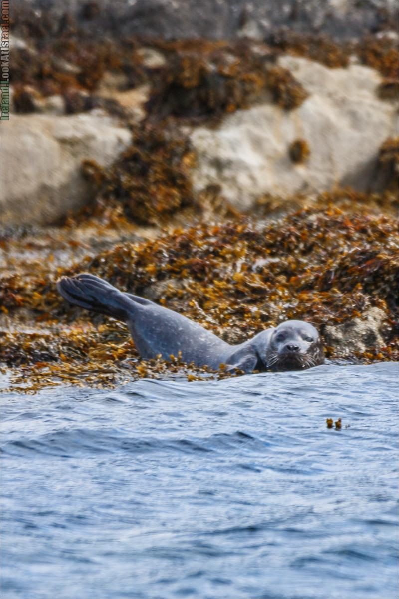 Seafari с тюленями в заливе Кенмар | The Ring of Beara, Uragh Stone Circle, Gleninchaquin Park & Waterfall | LookAtIsrael.com путешествует по Ирландии