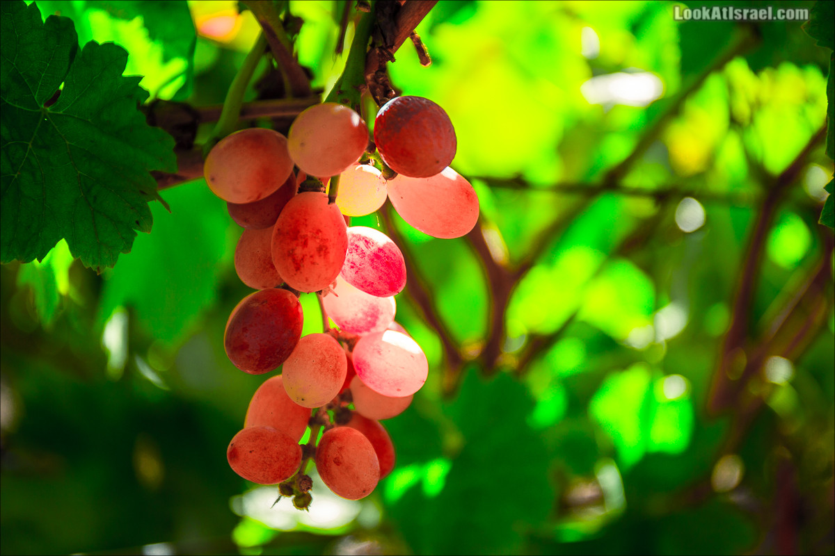 А для сбора винограда в иврите есть отдельное слово