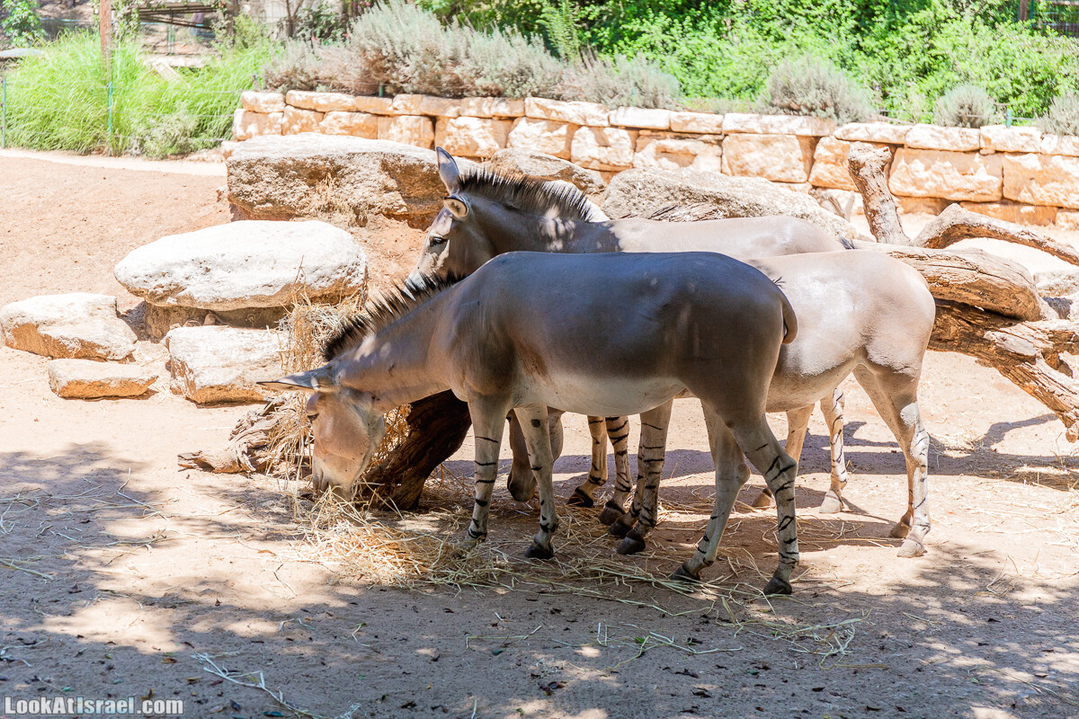 Сафари в Рамат Гане   Ramat Gan Safari   ספארי ברמת גן   LookAtIsrael.com - Фото путешествия по Израилю