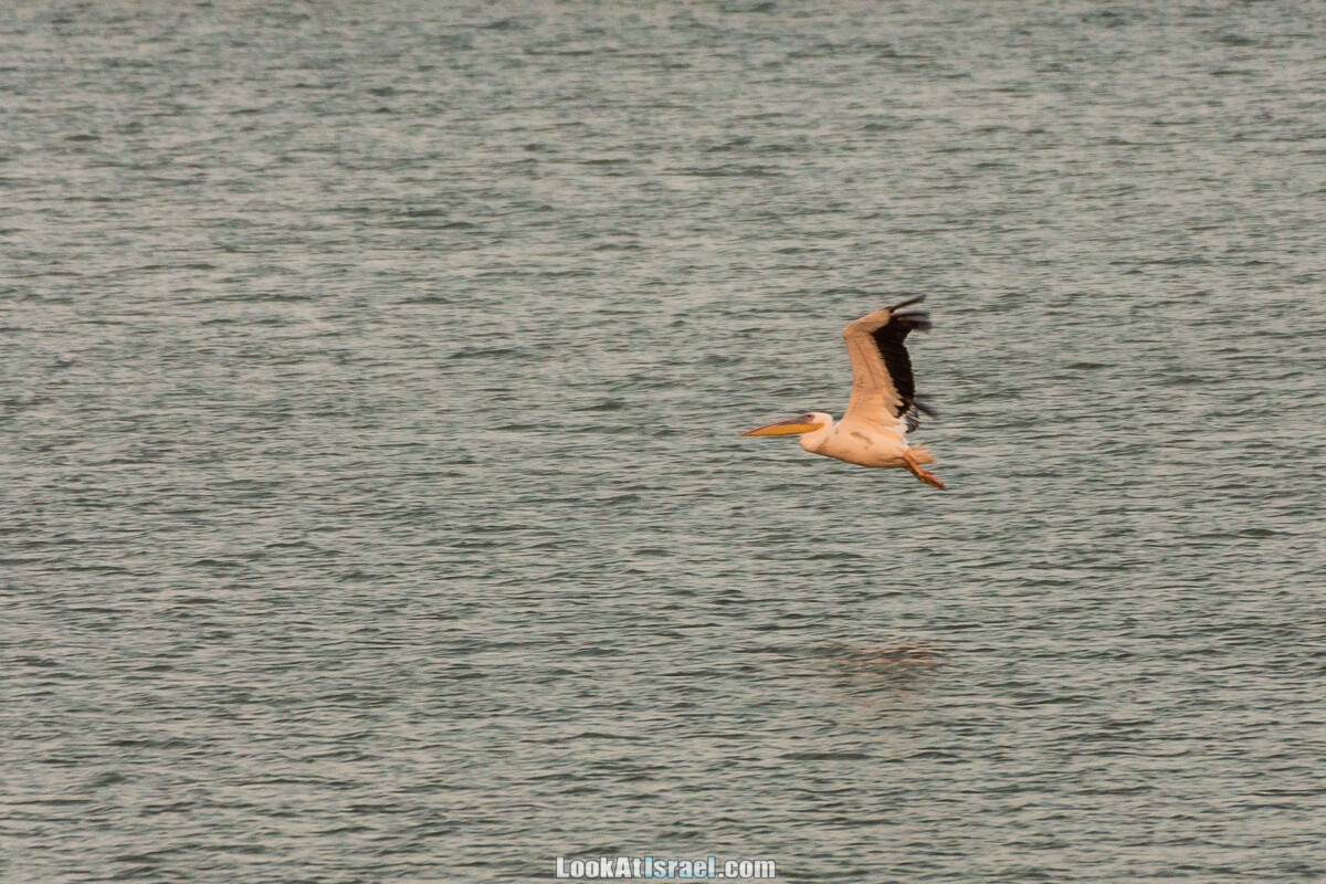Станция наблюдения Викар за пеликанами на озере в долине Хефер   Vikar birds watching   מצפור ויקר   LookAtIsrael.com - Фото путешествия по Израилю