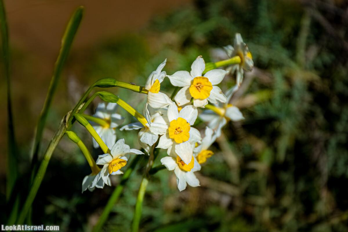 Зимнее цветение нарциссов в пустыне Негев (Нахаль Хацац)   Narcissuses of Negev desert   LookAtIsrael.com - Фото путешествия по Израилю