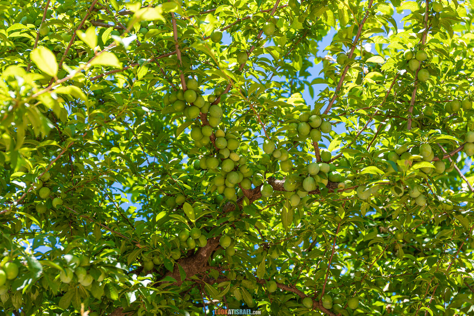 Тропа Голан - Тропа Черешни - от поселка Нимрод до мемориала Пальсар 7 - Буката, Масаде, гора Одем, гора Хермонит и гора Хермон и Голанские высоты |  LookAtIsrael.com - Фото путешествия по Израилю