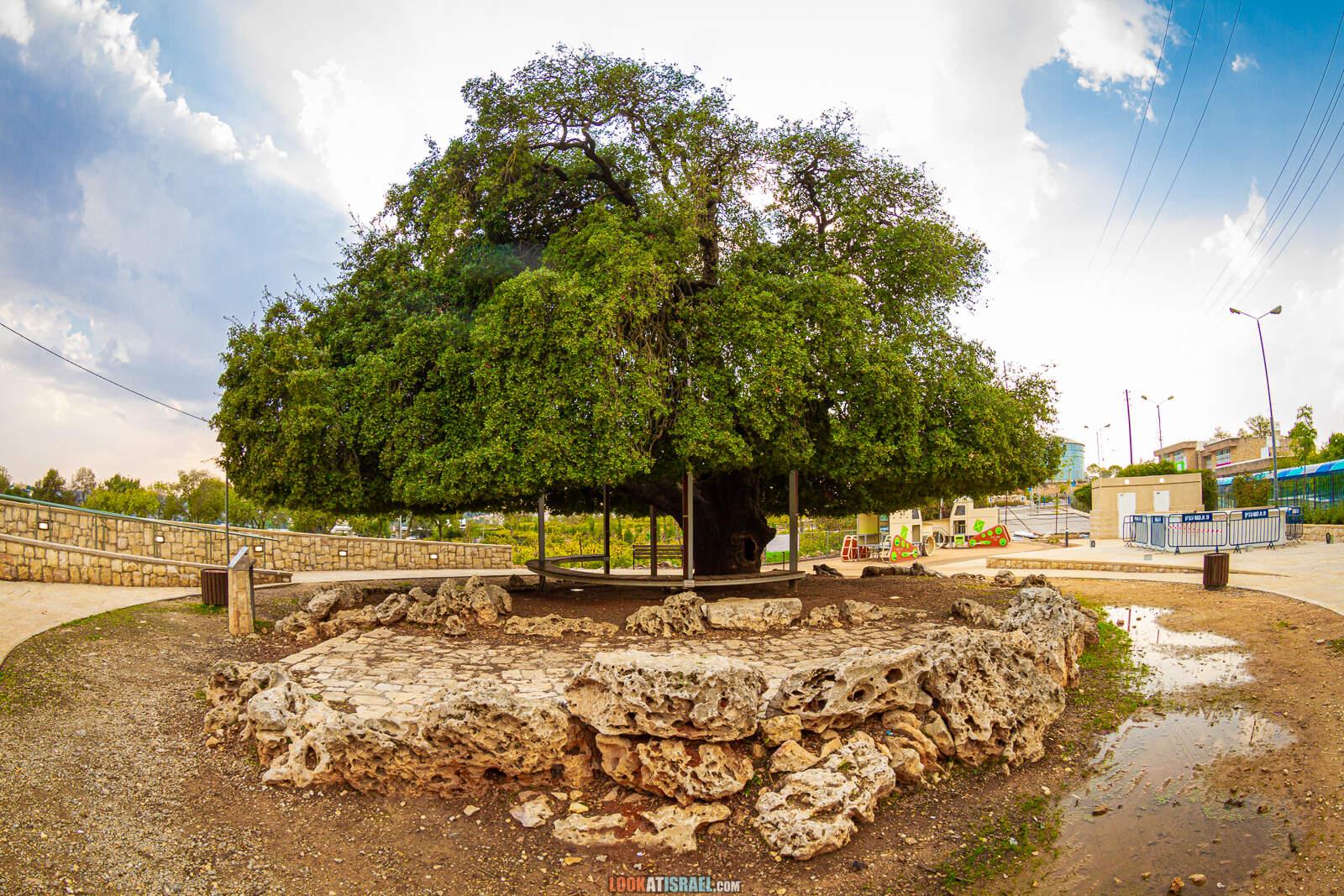 Одинокий дуб в Гуш Эцион | LookAtIsrael.com - Фото путешествия по Израилю