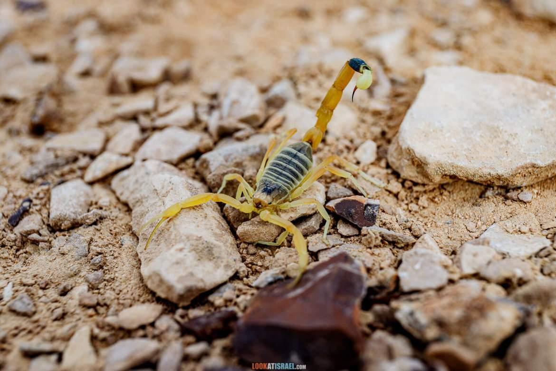 Скорпион на горе Карком