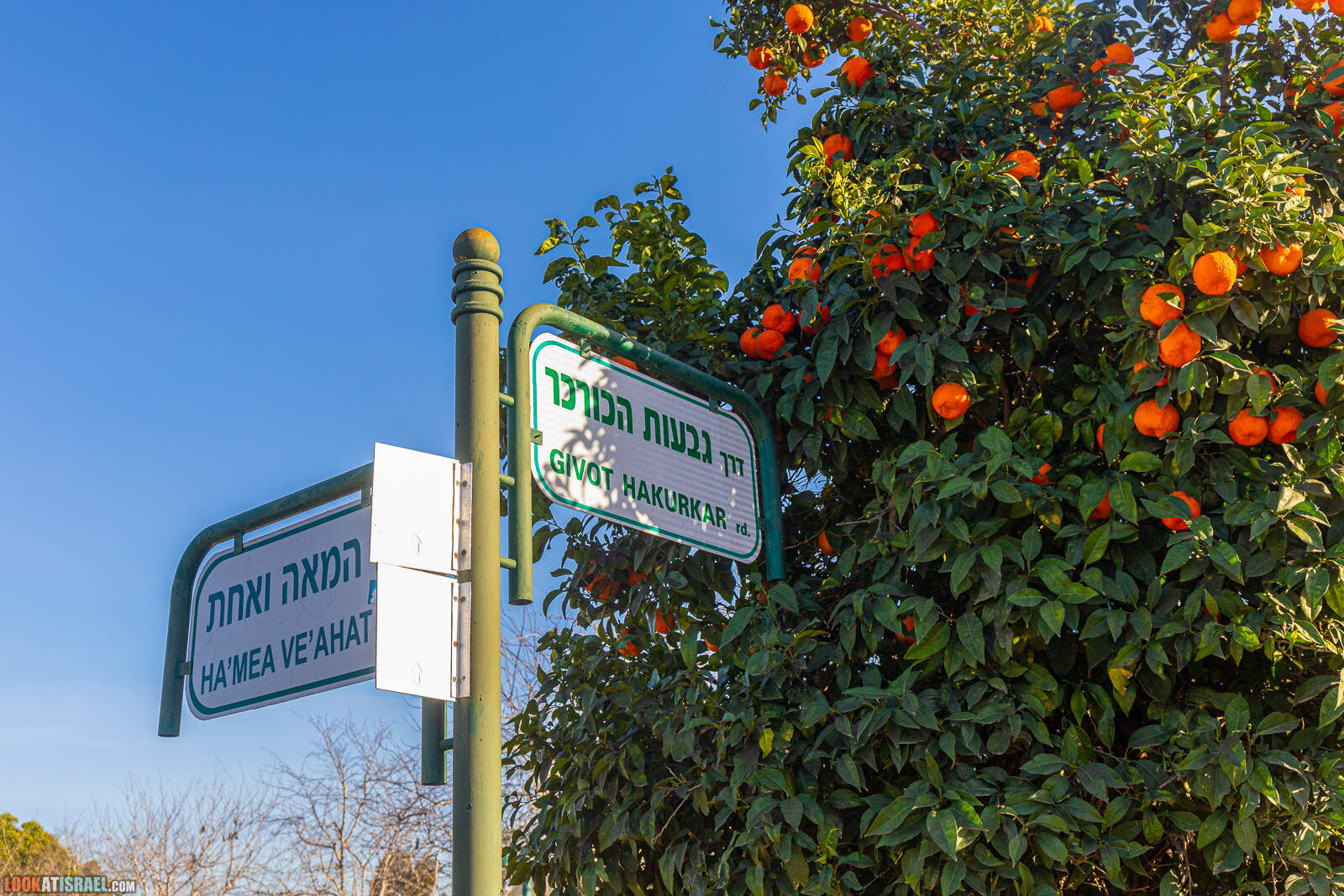 Ирис аргаман в Нес Циона | LookAtIsrael.com - Фото путешествия по Израилю