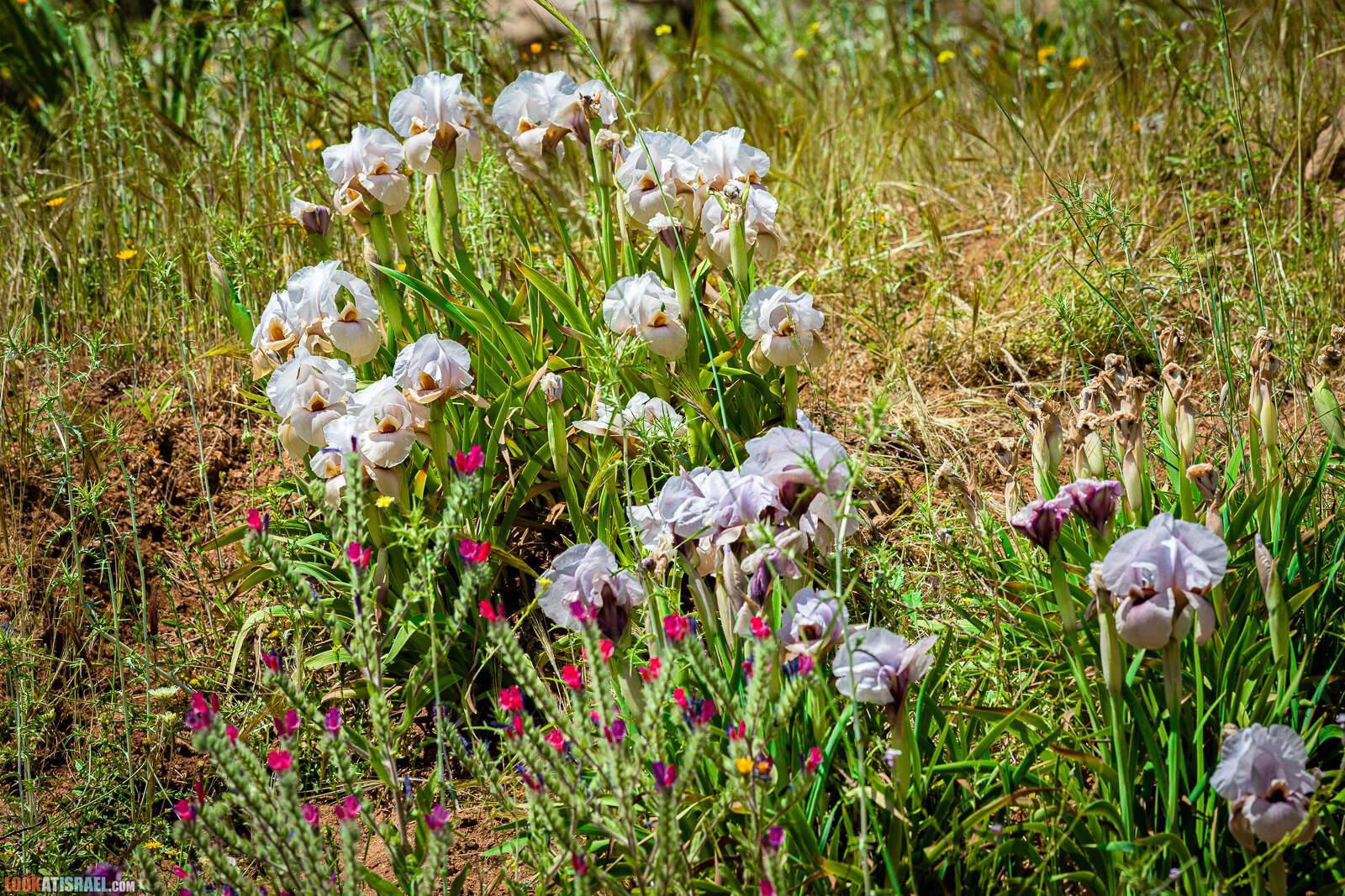 Ирис самарийский - Iris lortetii - אירוס השומרון - LookAtIsrael.com - Фото путешествия по Израилю