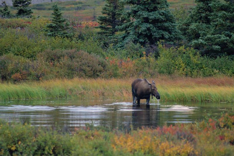 Moose grazing in a pond early in the morning