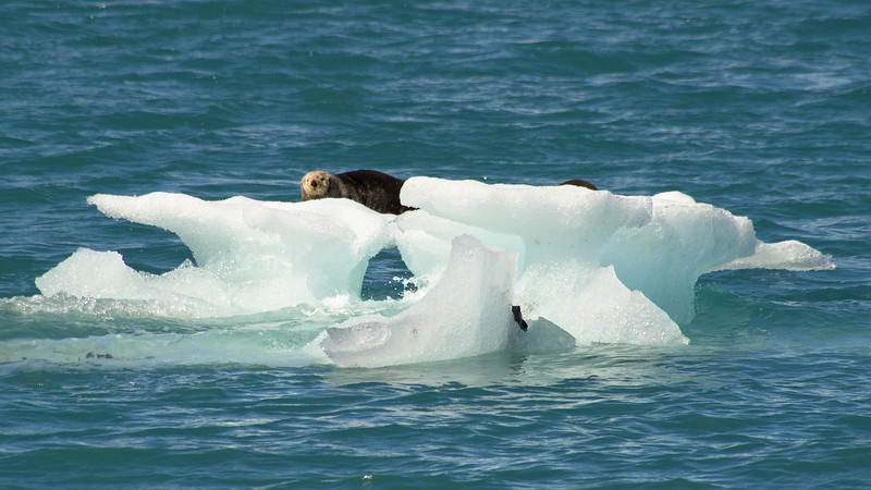 Sea otters on an iceberg, Prince William Sound